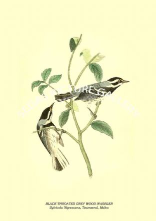BLACK-THROATED GREY WOOD-WARBLER - Sylvicola Nigrescens, Townsend, Males